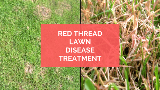 Red Thread Lawn Disease Treatment